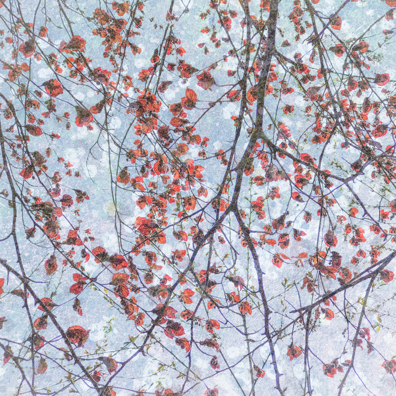 Copper beech branches, iphone multiple exposure
