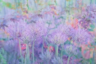 Allium, Chelsea Flower Show