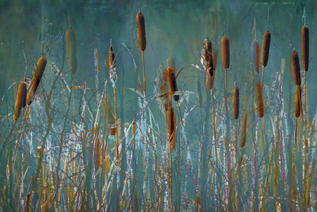 Bullrushes, Steam Mills Lake, Forest of Dean