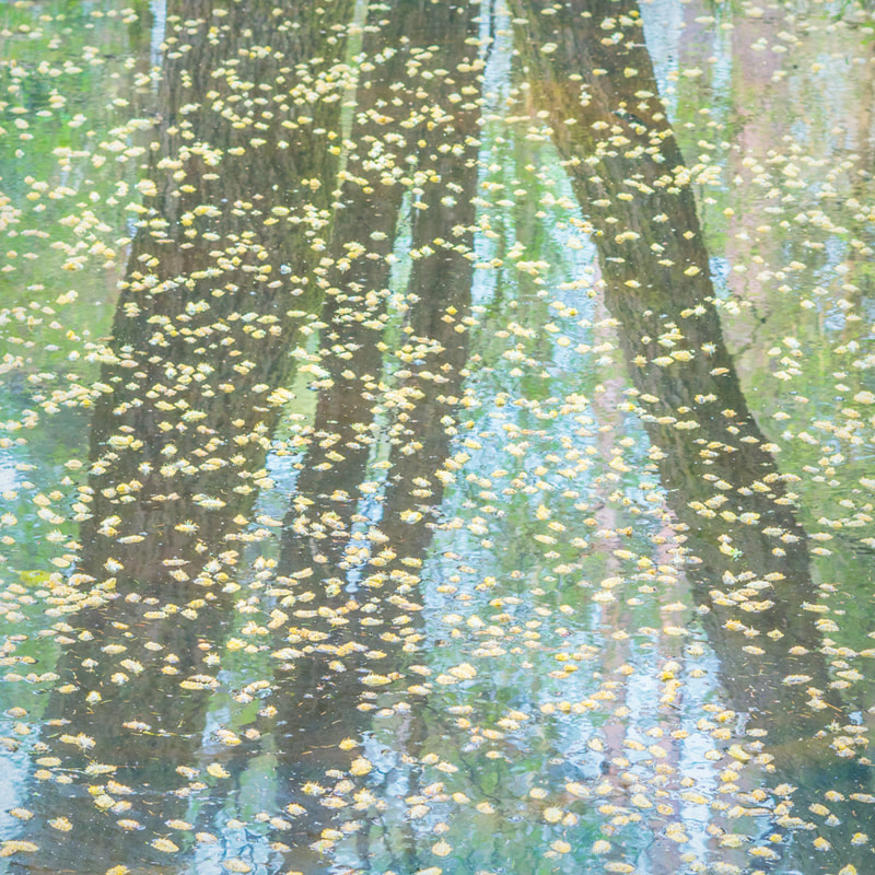 Goat willow catkins, reflections, Forest of Dean