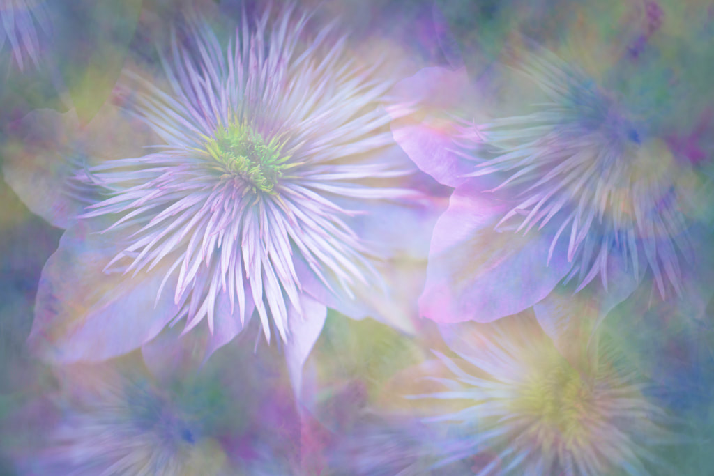 Clematis multiple exposure, Chelsea Flower Show