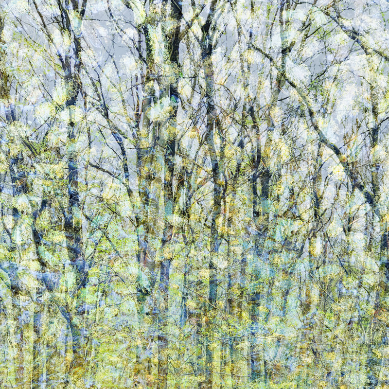 Springtime, goat willow catkins, multiple exposure