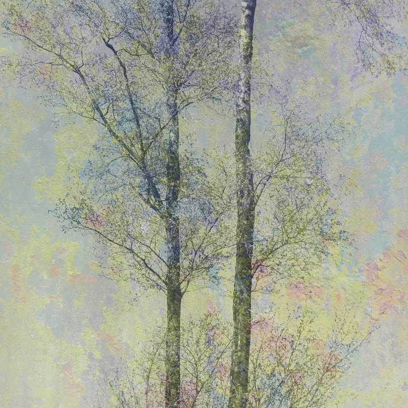 Birch trees, spring, Forest of Dean, multiple exposure