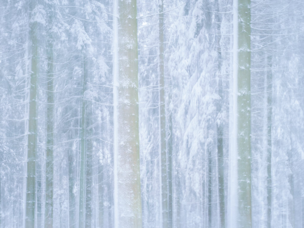 Snowy pines, Forest of Dean, ICM